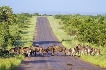 Garden Poster South Africa Blue wildebeest and Plains zebra in Kruger National park, South Africa