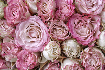 Grand Mini Roses
