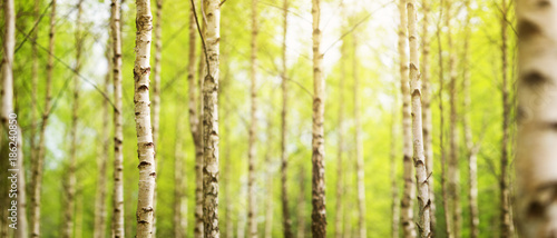Wall mural birch tree forest in morning light with sunlight