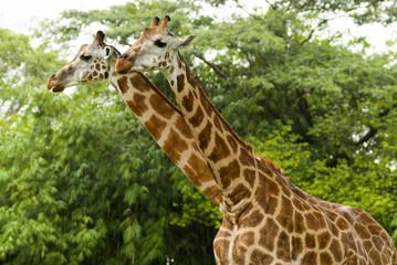 Two giraffes under the rain safari auto park in Guatemala. Giraffa camelopardalis