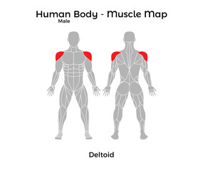 Male Human Body - Muscle map, Deltoid. Vector Illustration - EPS10.