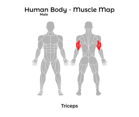 Male Human Body - Muscle map, Triceps. Vector Illustration - EPS10.