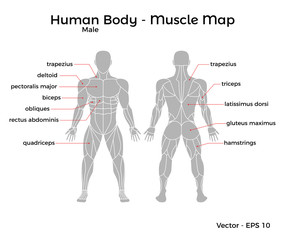 Male Human Body Muscle map, with major muscle names, front and back. Vector EPS 10 Illustration.