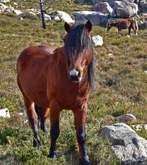 Wild hazel horse
