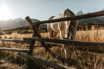 Horse grazing at golden hour in a pasture eating grass