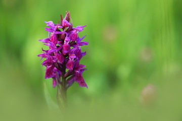 Orchidaceae. The wild nature of the Czech Republic. A rare plant of wild nature. Plant in the grass. Beautiful picture. Spring nature.