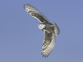 Snowy Owl Female with the Dense Spotting and Barring.in Flight on Blue Sky