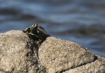 Little Turtle on Rocks