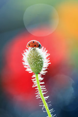 Ladybug keen on poppy fragrance .