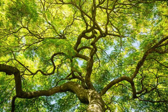 green maple tree canopy