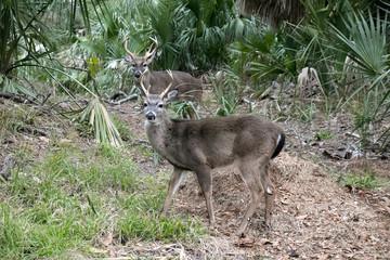 Two Bucks on the woods