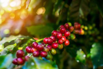 Organic Arabica Coffee Beans On Tree In CHIANG RAI, North of Thailand.