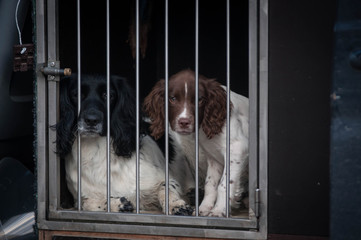 Springer Spaniels in the car