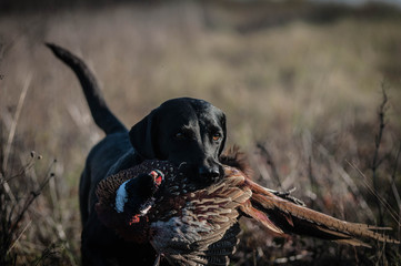 Hunting Labrador Retriever