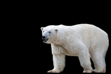 Polar bear on a black background