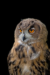 Eagle-owl on a black background, a portrait
