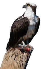 Isolated on white background, wild Osprey, Pandion haliaetus. Bird of prey eating fish on dead tree trunk. Close up wild raptor with prey. Vertical portrait. Tarcoles,  Puntarenas, Costa Rica