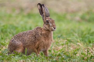 European brown hare, Lepus europaeus on meadow.