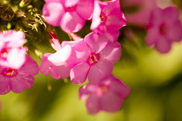 Pink flowe in the nature