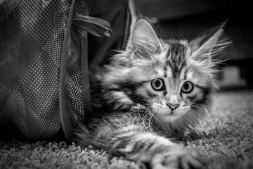 Kitty at Play