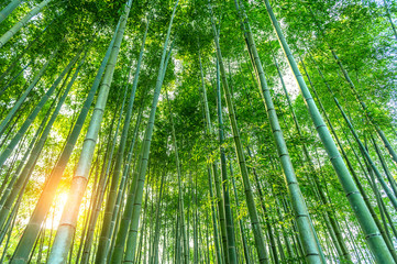 Wall Mural - bamboo forest. Nature background.