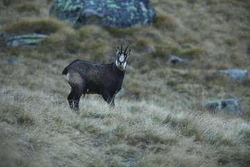 Rupicapra rupicapra. Wildlife of Italy. Autumn nature in the mountains. The beauty of Europe. Mountain views. Photo was taken in Italy. Gran Paradiso.Photo was taken in Italy. Gran Paradiso.