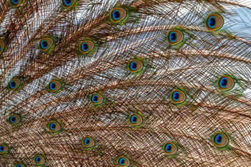 Close-up peacock feathers background