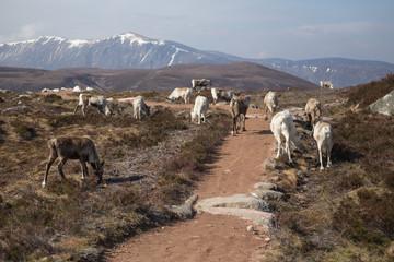Reindeer herd grazing in the Cairngorm mountains in May