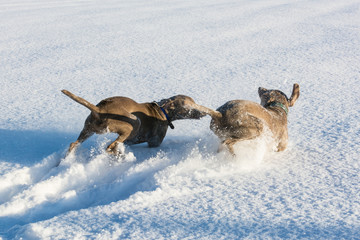 Spielende Jagdhunde im Schnee