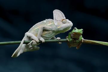 chameleons with frog