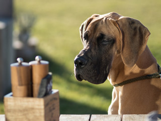 Obraz Gold Great Dane Puppy with green grass background looking at party table. - fototapety do salonu