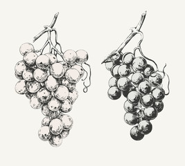Vintage illustration of two ink drawn vine grapes
