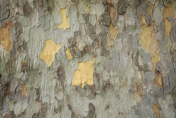 Wall Murals Old dirty textured wall Platanus x acerifolia