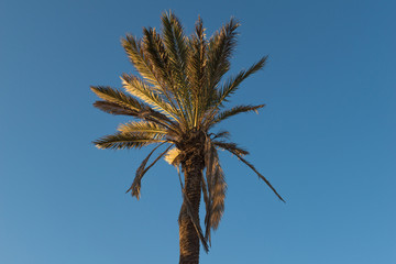 Palm tree on a blue sky with reflection of the sun at sunset