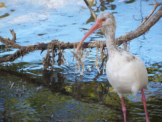 A wild bird known as an Ibis hunts for his breakfast in Key Largo, Florida