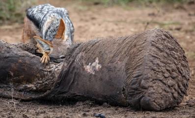 Black Backed Jackal Scavenging Dead Elephant