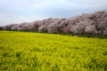 The cherry blossom in Satte Gongendou was in full bloom located in Washinomiya, Saitama pref in Japan.