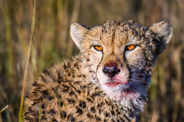Close up portrait of a cheetah with blood on its face from a finished meal, Okavango Delta, Botswana, Africa