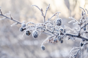 Wild plums covered with frost - Prunus spinosa