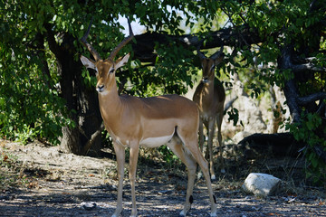 Gazelle in the wilderness of Africa alone