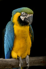 Blue throated macaw parrot on a branch