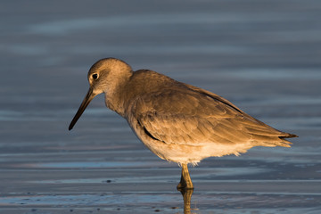WILLET, SUNSET MOOD