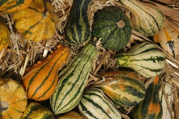 closeup of different pumpkins, lat. cucurbita,