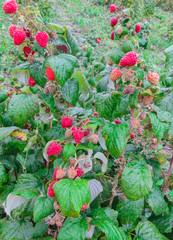 organic ripe red raspberries on the bush, garden,food