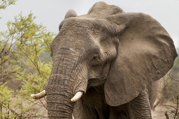 Elephants in Kruger Park