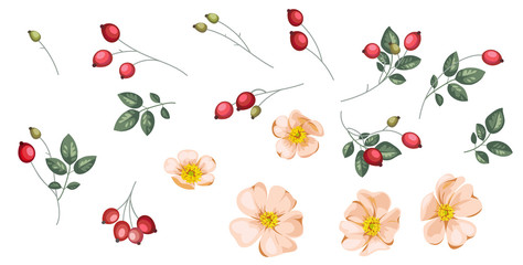 Set of rosehip`s flowers and berries.