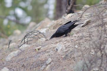 Common raven (Corvus corax) searching for food. Cruz de Pajonales. Parque Rural del Nublo. Tejeda. Gran Canaria. Canary Islands. Spain.
