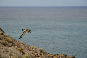 Cory's shearwater (Calonectris diomedea borealis). Juvenile in flight. La Caleta. Agaete. Gran Canaria. Canary Islands. Spain.