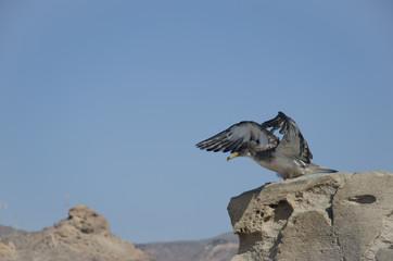 Cory's shearwater (Calonectris diomedea borealis). Juvenile. Tauro. Mogán. Gran Canaria. Canary Islands. Spain.
