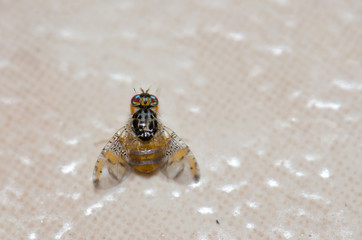 Mediterranean fruit fly (Ceratitis capitata). Playa de Arinaga. Agüimes. Gran Canaria. Canary Islands. Spain.